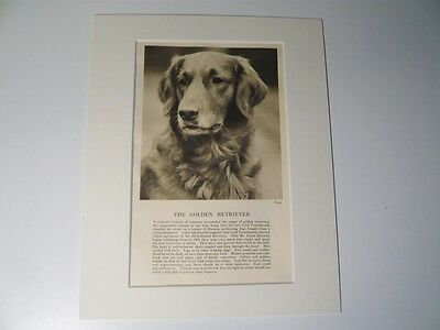 """Mounted 1931 Golden Retriever dog print 8"""" x 10""""  IDEAL GIFT Collectable"""