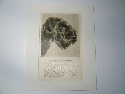 "Mounted 1931 KERRY BLUE TERRIER dog print 8"" x 10"" IDEAL GIFT Collectable"