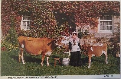MILKMAID WITH JERSEY COW AND CALF Jersey CI  postcard by A C Gallie