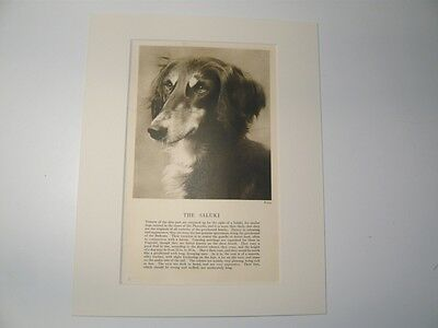 """Mounted 1931 SALUKI dog print 8"""" x 10"""" IDEAL GIFT Collectable"""