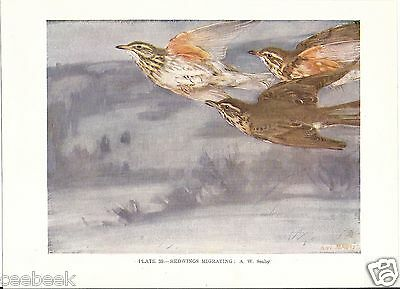 Redwings Migrating - 1930s Bird Print by A.W. Seaby