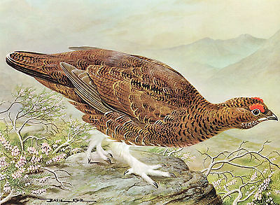 Red Grouse - 1980 Vintage Bird Print by Basil Ede