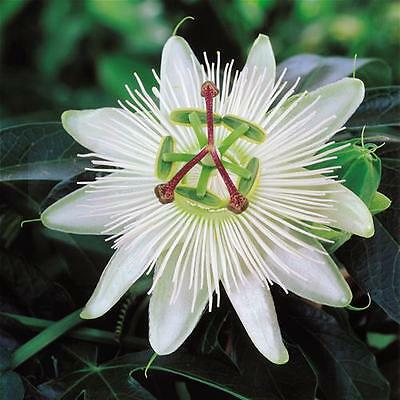 Passiflora caerulea  Constance Elliott in 9cm pot White Passion Flower