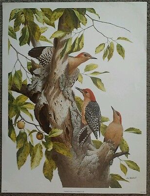 Vintage Out of Print A J RUDISILL Red Bellied Woodpecker Family Print 12x16""