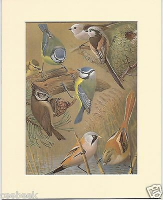 Blue, Long-Tailed, Crested & Bearded Tit - Mounted 1960s Bird Print Q4KUXJ1D4T