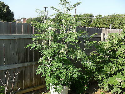 MORINGA OLEIFERA,THE MIRACLE TREE.HYBRID 5 SEEDS,PODS BY 2nd YEAR.RARE SEEDS.