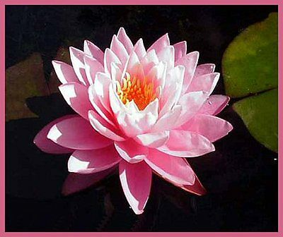 CLEARING SALE *Pink Double Flowers * Hardy WATER LILY Plant * N.'Peter Slocum'