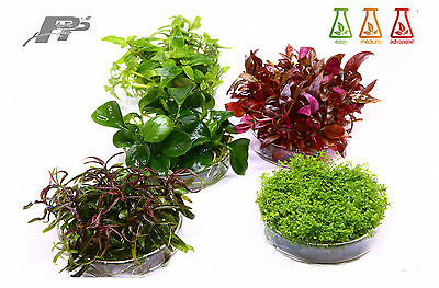 Live Aquarium Plants - In Vitro - 120 Species - Aquascaping - Invitro - Fish