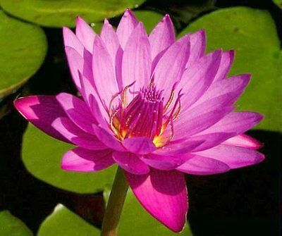 CLEARING SALE *Deep Pink* Large Mature Plant *Tropical WATER LILY*N 'Jack Wood'