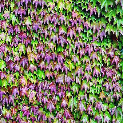 Japanese Ivy Seeds Parthenocissus Tricuspidata 25 Seed Pack