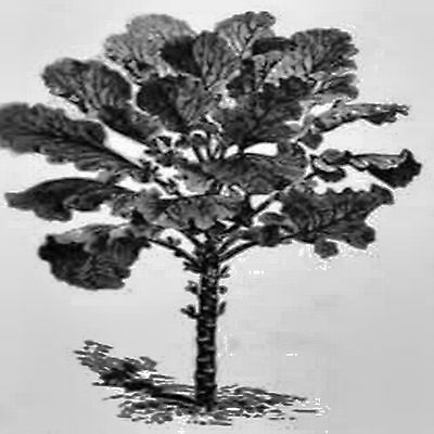 Giant Tree Kale Seed Chou Moellier Edible Collard Vegetable Hardy 50 Seeds