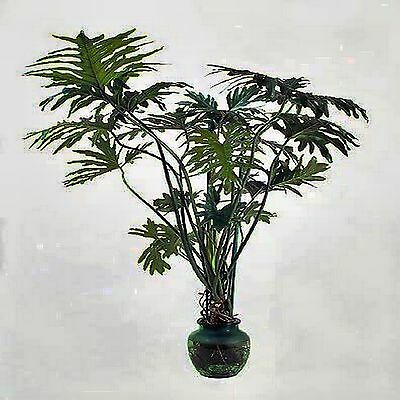 Lacy Tree Philodendron Seeds Philodendron Selloum Flower 20 Seed Pack