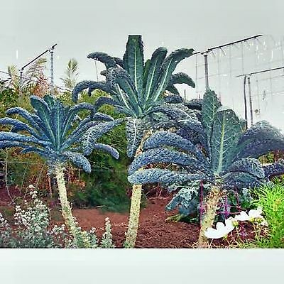 Giant Tree Kale Seed Chou Moellier Edible Collard Vegetable Hardy 200 Seeds