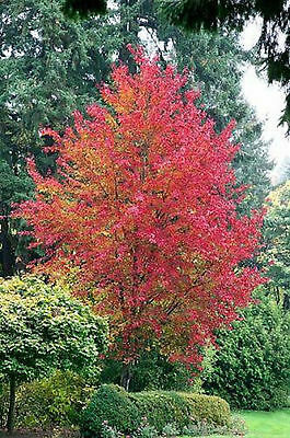 Trident Maple Seeds Acer Buergerianum Colour Feature Tree 100 Seed Pack
