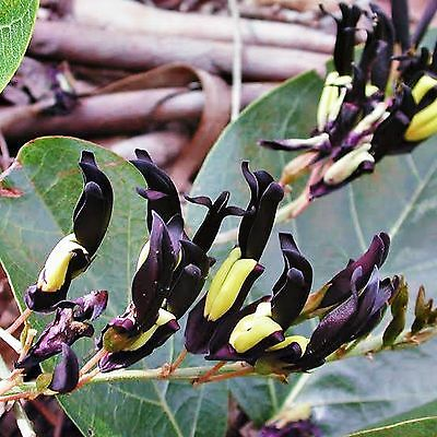 Black Kennedia Seeds Kennedia Nigricans Flowering Climber Hardy Pot 30 Seed Pack
