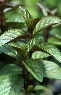 10 x MINT CHOCOLATE PEPPERMINT PLUG PLANTS READY TO PLANT OUT OR POT ON