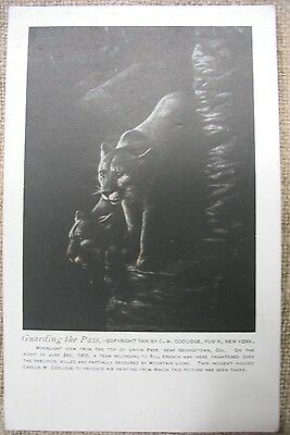 """Mountain Lion Post Card, """"Guarding the Pass"""" by C.M. Coolidge"""