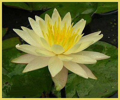 CLEARING SALE *Sunny Yellow * Hardy WATER LILY Plant * N.'Charlene Strawn'