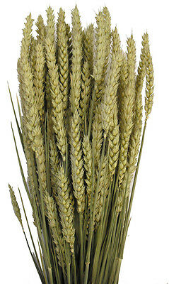 DRIED WHEAT / BARLEY / TARWE TRITICUM FOR FLOWER ARRANGING LARGE 250g BUNCH