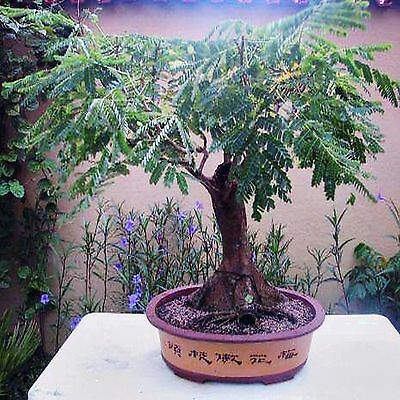 how to grow bonsai from seed