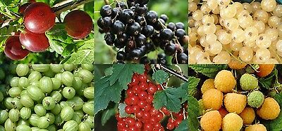 21x MIXED LARGE 2-3FT FRUIT BUSH SELECTION PACK - PERFECT FOR ALLOTMENTS