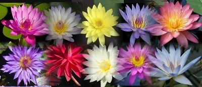 CLEARING SALE * 5 Unnamed  * Tropical WATER LILY Tubers *  Big Savings