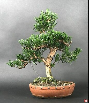 XXX rare podocarpus maki 4 year old cutting grown plant excellent for bonsai