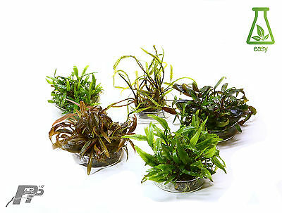 Live Aquarium Plants - Cryptocoryne - In Vitro - Very Easy - Fish tank - Shrimps