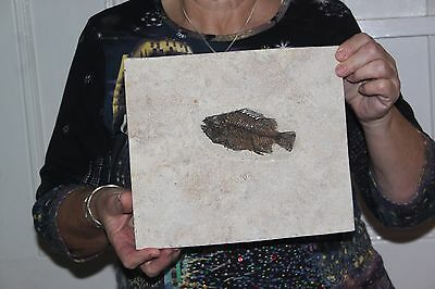High Quality Priscacara Liops green river fish fossil 50MYO Wyoming -