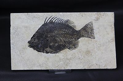 Special High Quality Priscacara Liops green river fish fossil 50MYO Wyoming