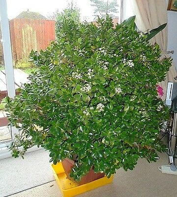 Very Healthy Rooted  Small Size Lucky Money Jade Crassula Ovata House Plant