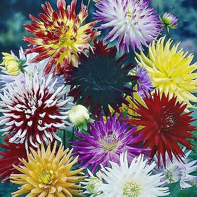 Dahlia Cactus Flowered Seeds Mixed Colours Hardy Long Flowering 25 Seed Pack