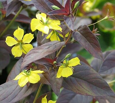 Lysimachia Firecracker - Purple leaves - very hardy perennial - cottage garden