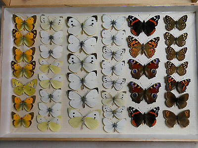 Storebox7 41 British Butterflies  moths Insects Taxidermy Lepidoptera entomology