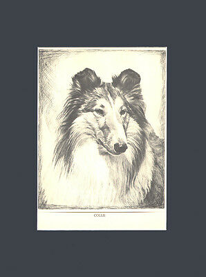 RARE Collie Dog Drawing Print 1935 by Malcolm Nicholson 10 X 13 Matted