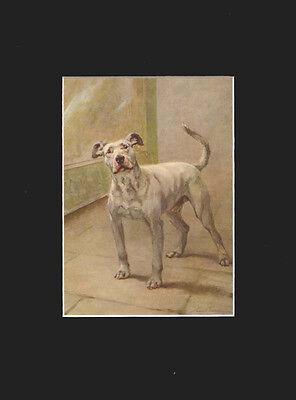 Bull Terrier Dog  RARE ANTIQUE PRINT 1911 by Maud Earl LARGE MAT 9x11