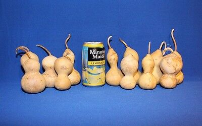 Lot of 12 Mini/Baby Bottle Gourds - Small to Medium Sized - Dried & Cleaned
