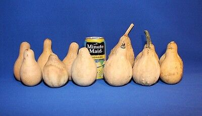 Lot of 12 Spinner Gourds - Medium to Large Sized, Dried and Cleaned