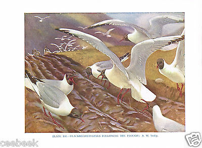 Blackheaded-Gulls Following The Plough - 1930s Bird Print by A.W. Seaby