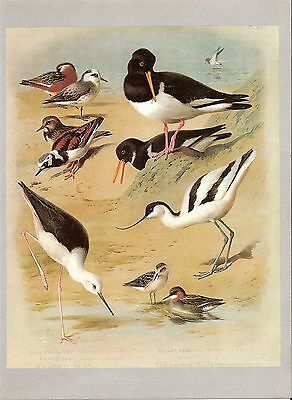 Oystercatcher, Avocet, Phalaropes, Stilt & Turnstone 1967 Bird Print by Thorburn