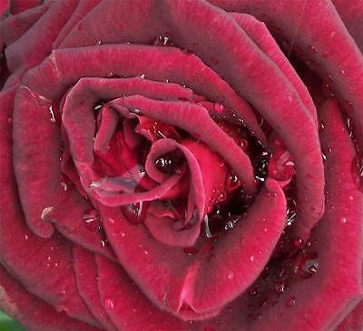 """""""papa Meilland""""  Very Highly Scented Hybrid Tea Repeat Flowering Bush Rose"""