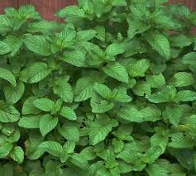 5 x MINT ENGLISH PEPPERMINT PLUG PLANTS READY TO PLANT OUT OR POT ON