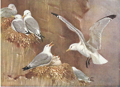 Kittiwakes - 1930s Bird Print by A.W. Seaby