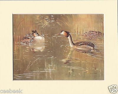 Great Crested-Grebe And Young In Down Mounted 1930s Bird Print Black Cream or Wh