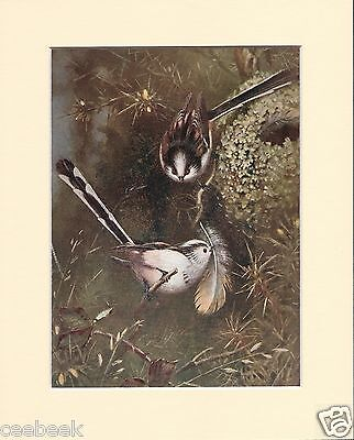 Longtailed-Tits Building Their Nest Mounted 1930s Bird Print Black Cream or Whit
