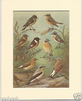 Stonechat, Whinchat & Wheatear - Mounted 1960's Bird Print #133391