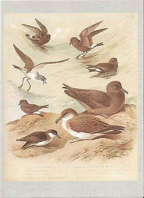 Petrels & Shearwaters - 1967 Bird Print by Archibald Thorburn