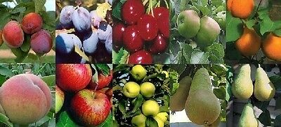 5X 6FT LARGE MIXED FRUIT TREE SELECTION 2-3Yr HS, APPLE PLUM PEAR CHERRY