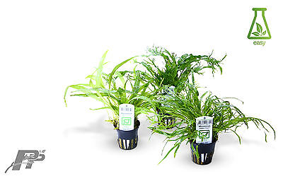 Live Aquarium Plants - Ferns and Bolbitis - Very Easy - Java Fern - Microsorum
