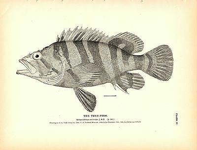Rare 1884 Antique Fish Print ~ The Rockfish Collection ~ Lot of 9 prints